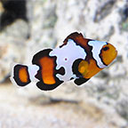 Black Ice Clownfish, Captive Bred ORA®