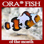 Black Ice Snowflake Clownfish, Captive Bred ORA®