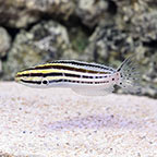 Striped Blenny, Captive-Bred