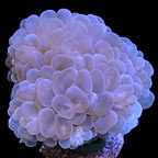 Micronesian Bubble Coral, Aquacultured ORA®