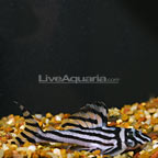 Zebra Altimira (L-46)Plecostomus, Captive-Bred