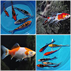 Koi and Pond Fish Pack