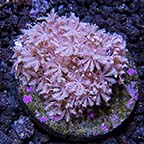 Assorted Soft Coral Frag Packs