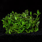 Bacopa caroliniana - Tropica® 1-2-Grow!