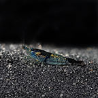 Black and Blue Rili Shrimp