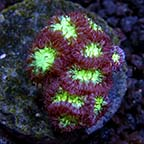 Assorted Aquacultured LPS Frag Packs