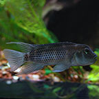 Buffalo Head Cichlid