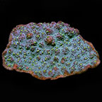 Chalice Coral, Green