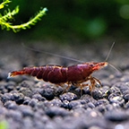 Chocolate Cherry Shrimp