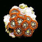 ORA® Aquacultured Orange Colony Polyp Coral
