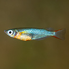 Daisy's Blue Rice Killifish