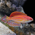 Diamond-Tail Flasher Wrasse