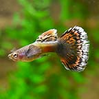 Dumbo Ear Dragon Guppy, Male