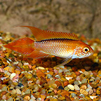 Dearf Agassizii Flame Red