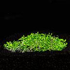 Elatine hydropiper - Tropica® 1-2-Grow!