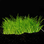Eleocharis acicularis 'Mini' - Tropica® 1-2-Grow!