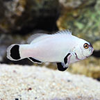 Flurry Clownfish Captive-Bred