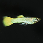 German Yellow Guppy