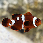 Gold Dot Maroon Clownfish, Captive Bred