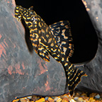 Gold Spot (L-001) Plecostomus