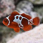 GoldxLightning Maroon Clownfish, Captive-Bred ORA®