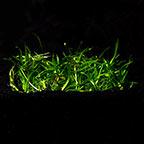 Helanthium tenellum 'Green' - Tropica® 1-2-Grow!
