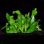 Hygrophila 'Siamensis' 53B - Tropica® 1-2-Grow!