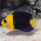 Joculator Angelfish