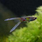 Lyretail Guppy (Pair)