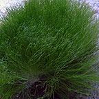 Maiden's Hair Plant