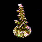 Marshall Island Pink & Green Acropora Coral, Aquacultured, ORA®