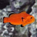 Naked Clownfish, Captive-Bred