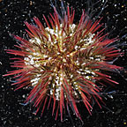 Pincushion Sea Urchin, Aquacultured ORA®
