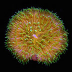 Plate Coral, Orange with Green Polyps