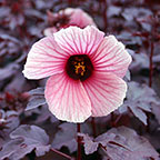 Red Night Blooming Hibiscus