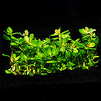 Rotala 'Bonsai' - Tropica® 1-2-Grow!