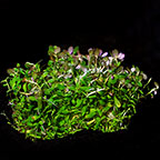 Rotala rotundifolia - Tropica® 1-2-Grow!