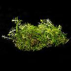 Rotala wallichi - Tropica® 1-2-Grow!