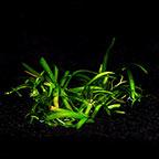 Sagittaria subulata - Tropica® 1-2-Grow!