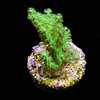 Sinularia Finger Leather Coral, Neon Green - Aquacultured ORA ®