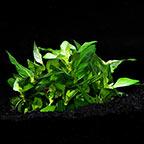 Staurogyne repens - Tropica® 1-2-Grow!