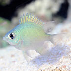 Ternate Damselfish