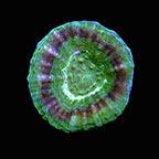 Australian Scolymia Coral, UFO