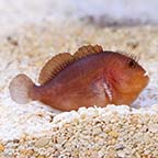 Pygmy Coral Croucher Goby