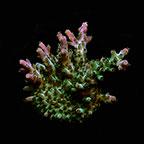Verde Acropora Coral, Aquacultured ORA®