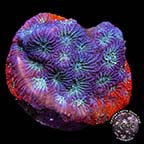 Red and Blue War Coral, Aquacultured