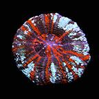 Australian Scolymia Coral , Warpaint