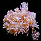 LiveAquaria® CCGC Aquacultured Red Sea Pom Pom Xenia Coral