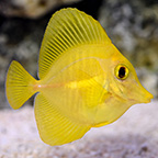 Yellow Tang, Captive-Bred, Biota