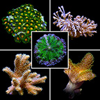 Aquatic Life Pack - 40 Gallon ORA® Soft Coral